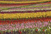 Image of blooming flower field in Santa Maria, California