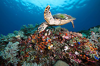 Hawksbill Turtle Glides above the reef.Shot in West Papua Province, Indonesia
