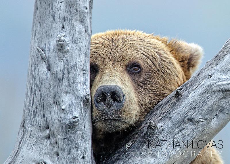 Grizzly Bear (ursus Americanus) Resting On A Old Tree On Beach; Katmai National Park, Alaska.