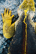 Close up of yellow spine of a marine iguana, Galapagos Islands. Overhead view.