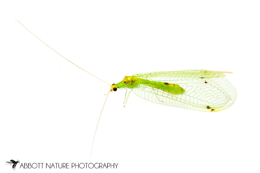 Green Lacewings (Leucochrysa insularis)<br /> United States: Alabama: Tuscaloosa Co.<br /> Tulip Tree Springs off Echola Rd.; Elrod<br /> 7-Jun-2016<br /> J.C. Abbott #2827 &amp; K.K. Abbott