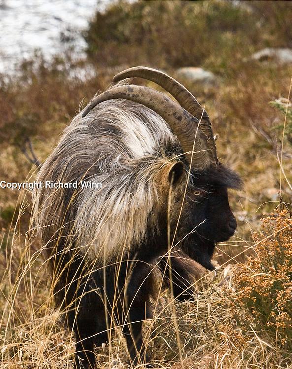 Mountain goat in Glen Strathfarrar in the Scottish Highlands.