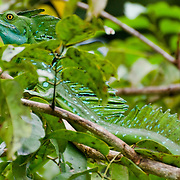 A green basilisk lizard (Basiliscus plumifrons) in Tortuguero National Park, Costa Rica on April 8, 2009.  (Photo/Billy Byrne Drumm)