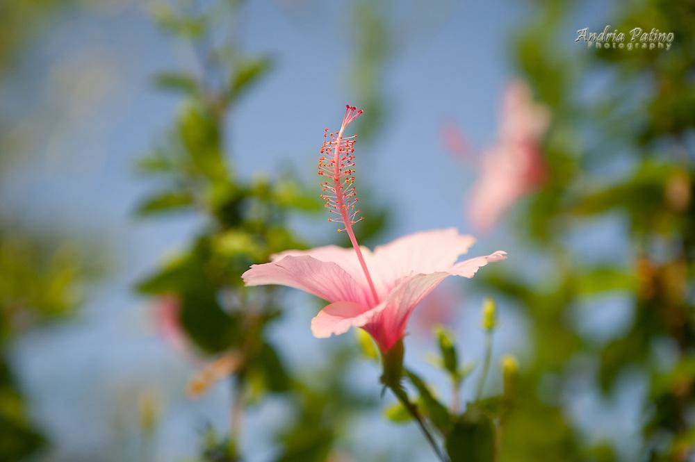 Hibiscus flower, Jamaica