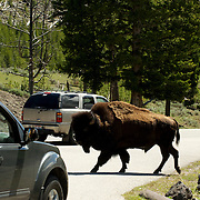 A Bison, or American Buffalo, walks through traffic in Yellowstone National Park.  Wyoming, USA