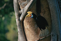 Female Knobbed Hornbill (Aceros cassidix) outside its nest.   Chick is near fledging, and female has emerged and is assisting male in feeding chick...Tangkoko Batuangus/Dua Saudara Nature Reserve, Sulawesi Island, Indonesia.