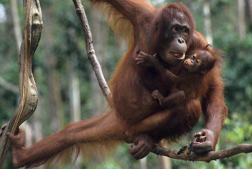 Orangutan, (Pongo pygmaeus) Mother and baby on hanging vine  eating bananas in rain forest. Northern Borneo. Malaysia. Controlled Conditons.