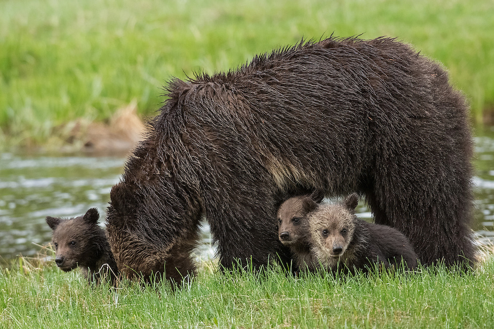 Female grizzlies are known for their fierce protective instinct towards their cubs. These cubs will depend on their mother for care and protection during their first few years of life until they are head out on their own.
