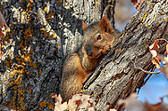 Fox squirrel near the base of Devils Tower in Wyoming