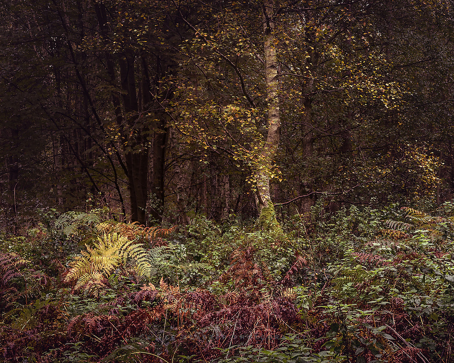 Rainy dawn walk in Thetford Forest yesterday