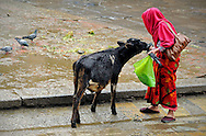 Nepal, Kathmandu. Woman feeding a holy cow from Durbar Square in Kathmandu during a rainy day.