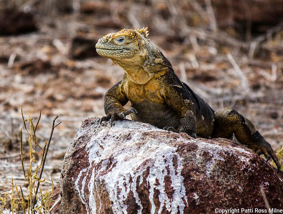 A majestic looking land iguana.