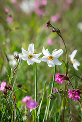 Narcissus poeticus var. recurvus AGM - Old pheasant's eye - with Red campion - Silene dioica - in the wildflower meadow