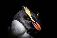 Eudyptes pachyrhynchus (Tawaki / Fiordland Crested Penguin)