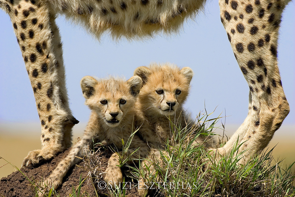 Cheetah<br /> Acinonyx jubatus<br /> 8 week old cub(s) resting in the shade cast by their mother's body<br /> Maasai Mara Reserve, Kenya
