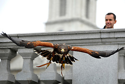 © Licensed to London News Pictures. 13/03/2012. London, UK. Lizzie takes off in the shadow of the clock tower of St Martin in the Fields. Wayne Parsons flies Lizzie, aged 3, the American Harris Hawk in London's Trafalgar Square today. Wayne and Lizzie are employed by the Greater London Authority to control the pigeon population in the famous square. Lizzie was reared from birth by Wayne but not 'imprinted', meaning she retains her natural ability to hunt. Lizzie only catches 5 or 6 pigeons a year as the very site of her scares them away.  Photo credit : Stephen SImpson/LNP
