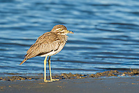 Water Thick-Knee, Sundays River Estuary, Algoa Bay, Eastern Cape, South Africa