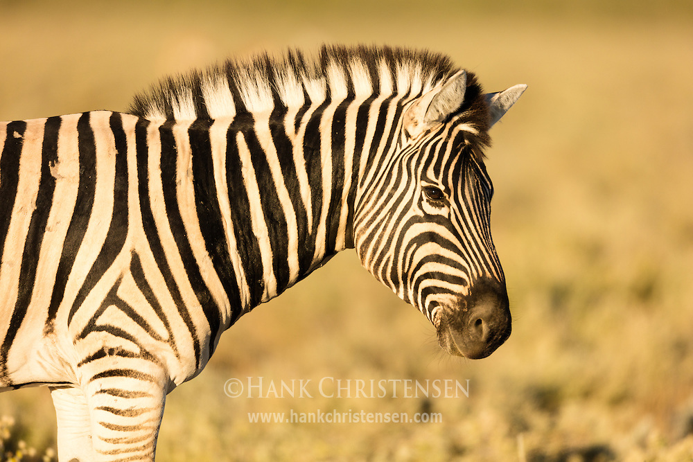 A plains zebra grazes in early morning light, Etosha National Park, Namibia.