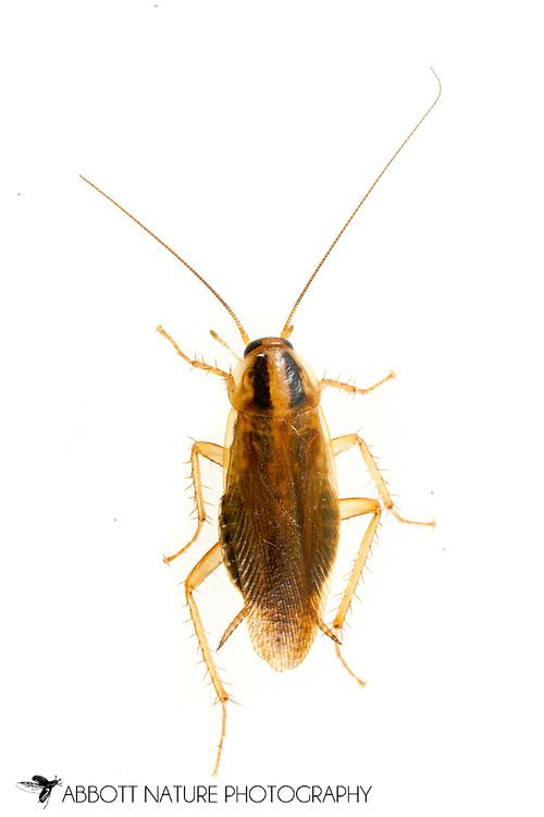 Asian Cockroach (Blattella asahinai)<br /> United States: Alabama: Tuscaloosa Co.<br /> Tulip Tree Springs off Echola Rd.; Elrod<br /> 20-Mar-2017<br /> J.C. Abbott #2903