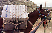 07 AUGUST 2000 - SUPAI, AZ: A mule with empty postal service cartons waits to be loaded with mail at the parking lot eight miles above the village of Supai on the Havasupai Indian reservation in northern Arizona, Aug. 7. There are no roads or rail service into Supai, a village of 600 people on the floor of the Grand Canyon, so the mail is delivered by mule train. The wranglers who lead the mules down to the village haul everything from letters and postcards to fresh produce and ice cream. The mail is hauled down the steep mountain slopes five days a week rain or shine. It normally takes about three hours to haul the mail down. Because of budget shortfalls, the US Postal Service is threatening to close the post office in Supai.   PHOTO BY JACK KURTZ