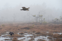 09.04.2009.Black Grouse (Tetrao tetrix) displaying on a bog. Female flying above. Lekking behaviour. Courting. Foggy morning..Bergslagen, Sweden.
