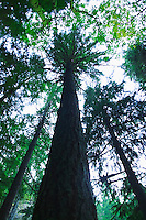 Looking up at a Fir tree<br />