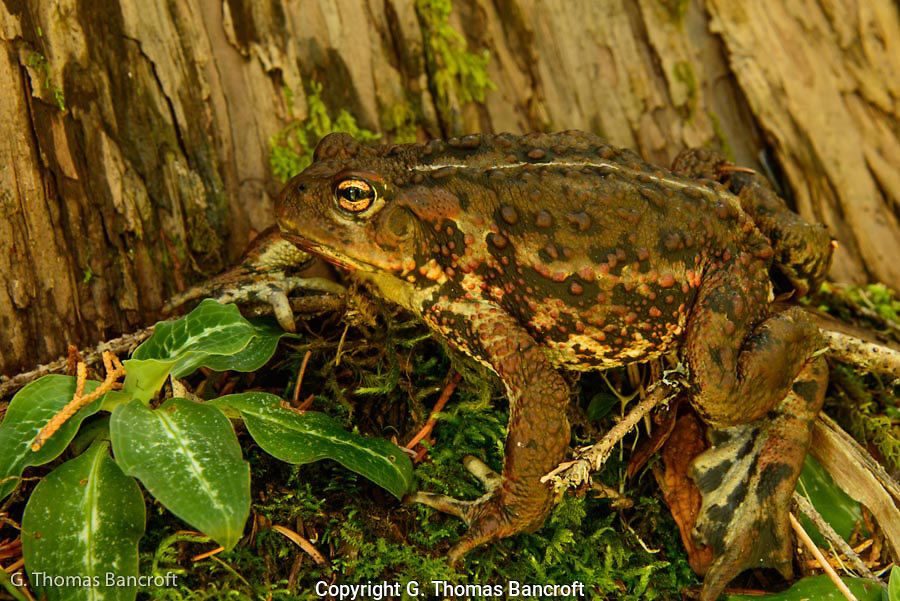 Western toad jumped from the trail and froze against the tree trunk.