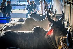 Gado da raça Guzera nos pailhões da 38ª Expointer, que ocorrerá entre 29 de agosto e 06 de setembro de 2015 no Parque de Exposições Assis Brasil, em Esteio. FOTO: Vilmar da Rosa/ Agência Preview