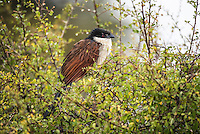 Burchells Coucal, Kruger National Park, Limpopo, South Africa