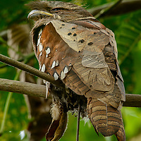 Endemic to the mountains of northern Borneo, the rare and secretive Dulit Frogmouth (Batrachostomus harterti) is known from only a handful of specimens and sight records. Like other frogmouths it is a nocturnal insectivore and by day sleeps motionless on a branch disguised as a cluster of dead leaves. Sarawak, Malaysia.