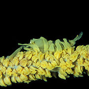 Dasycaris zanzibarica shrimp in Lembeh Straits, Indonesia.