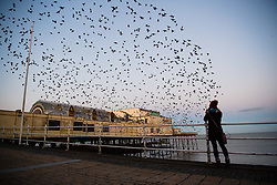 © Licensed to London News Pictures. 24/11/2017. Aberystwyth, Wales, UK. On a crisp, clear and cold morning , tens of thousands of starlings emerge in an explosion of birds from their overnight roost on the girders underneath Aberystwyth 's seaside pier .Photo credit: Keith Morris/LNP
