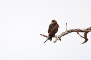 Brown Snake Eagle perched in tree, Tarangire National Park, Tanzania