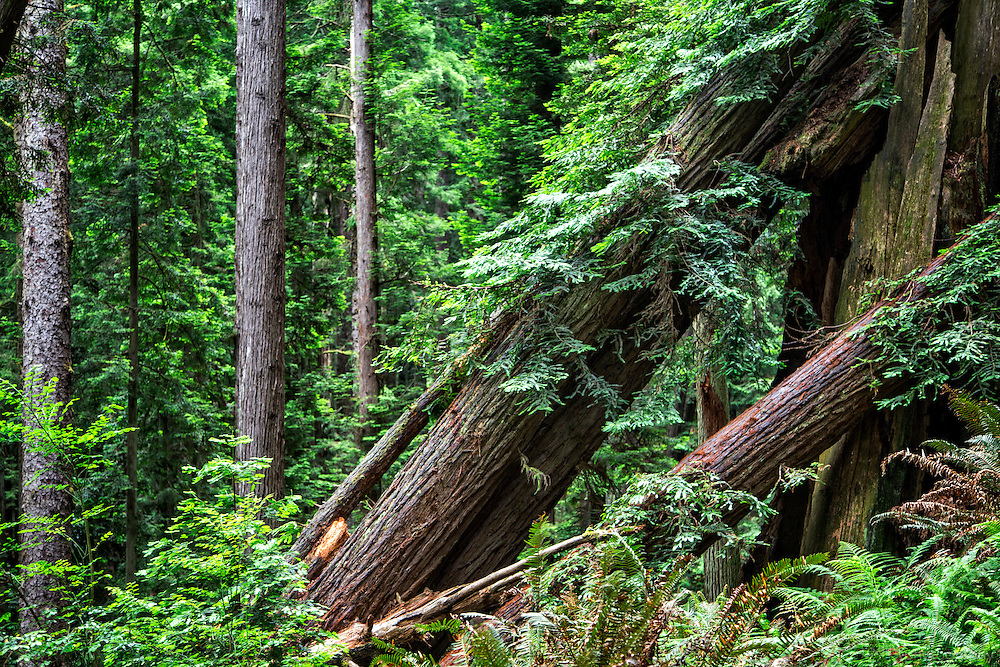 Beautiful Redwood Forest in the City of Arcata, CA. Fallen trees become hosts to future generations.
