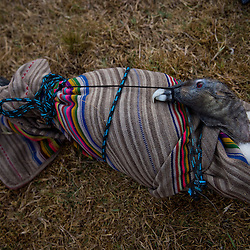 A captive condor lays wrapped in a blanket before being presented to the town's mayor for the opening ceremony of Yawar Fiesta (Feast of Blood) in the Andean town of Coyllurqui, in Apurimac, Peru. This Peruvian tradition, that takes place annually in July during the Independence day celebrations, consists of capturing a condor or condors and parading them around town for about a week. The highlight of the tradition is a bullfight with the condor strapped on top of the bull. For locals, the bull represents the Spanish and the condor the native population. The condor is freed after the festivities in a ceremony called Cacharpari.