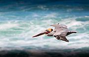 Brown Pelican soaring at the La Jolla coast.