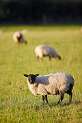 Blackfaced sheep grazing in Oxfordshire, United Kingdom