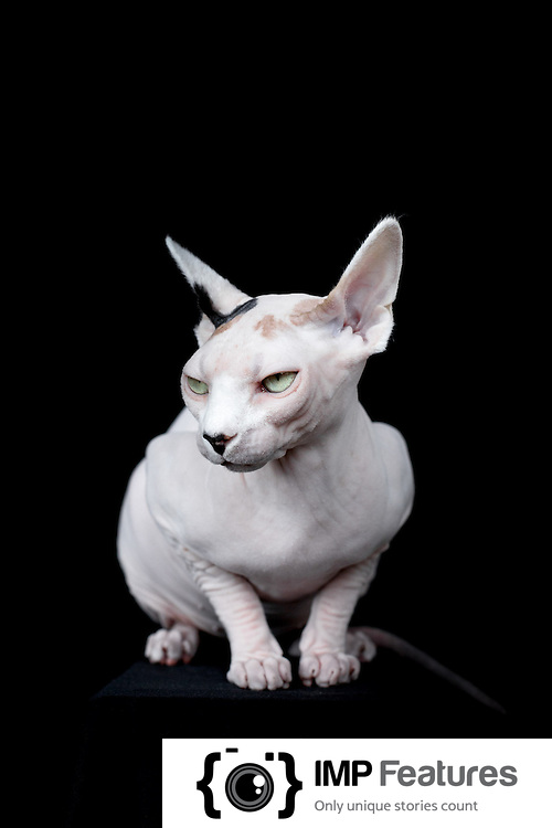 Exclusive Hairless Cats Photoshoot Hw H