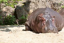 20.04.2011, Wien, AUT, Feature, im Bild ein Nilpferd im Tierpark von Schloss Schönbrunn, EXPA Pictures © 2011, PhotoCredit: EXPA/ Erwin Scheriau