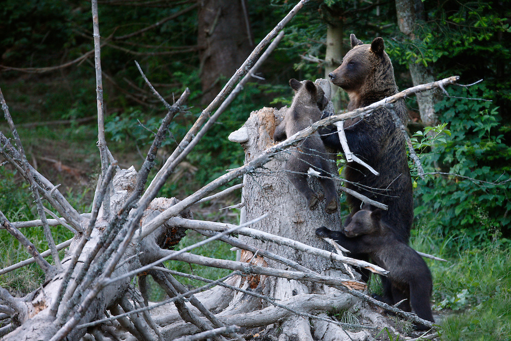 Brown Bear (Ursus arctos) female with cubs. Bieszczady National Park, Poland