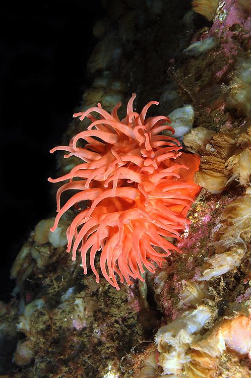 Sea anemone (Urticina eques). Location : Hardangerfjorden, Norway
