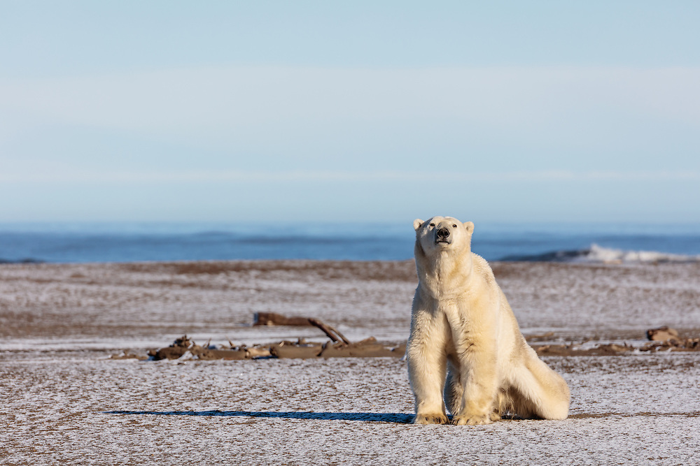 Polar bear (Ursus maritimus) on spit on Barter Island near Kaktovik in Arctic National Wildlife Refuge in the Far North of Alaska. Autumn. Morning.