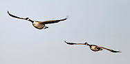 Canada Geese at the Delta Marsh, early Thursday, April 12, 2012. (TREVOR HAGAN)