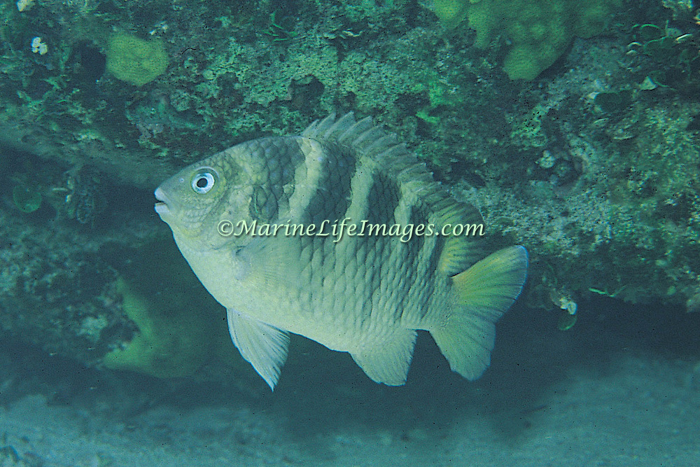 Night Sergeant inhabit shallow rocky inshore surge areas, venture from dark recesses only at night in Tropical West Atlantic; picture Bimini Bahamas.