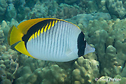 lined butterflyfish or kikakapu, Chaetodon lineolatus, Kahaluu Beach Park, Keauhou, Kona, Hawaii ( Big Island ), Hawaiian Islands ( Central Pacific Ocean )