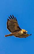 Redtail Hawk in Flight