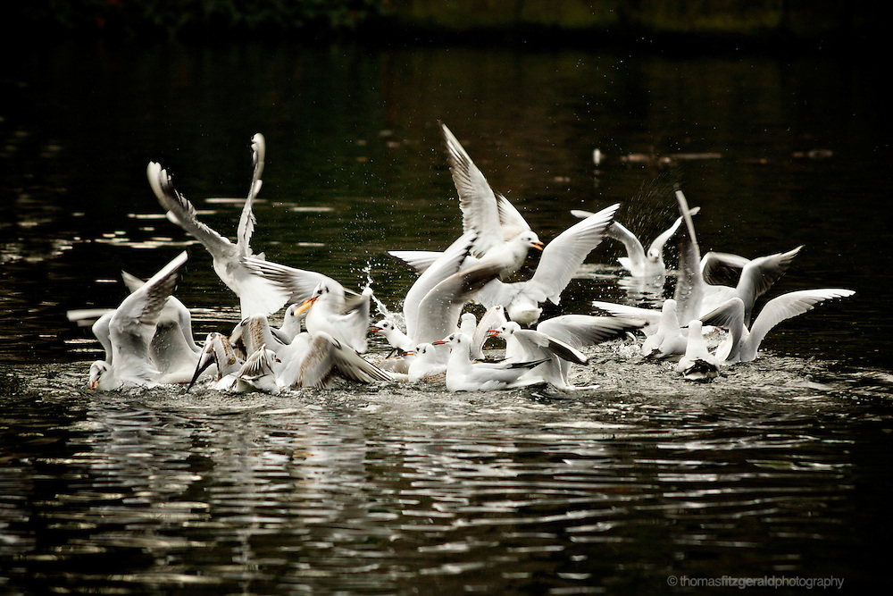 Stephen's Green, Dublin, Ireland: A flock of Seagulls fight over the scraps of bread that were fed to them in the small lake in the centre of the park. A large group of birds feverently thrashing about in the waters of the lake as they fight over food
