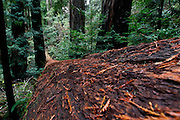 A view looking down a fallen redwood tree in Muir Woods outside of San Francisco, California