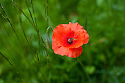 Hoverfly searching for nectar from wild field poppy, Papaver rhoeas, in the Cotswolds near  Bledington, Oxfordshire, UK