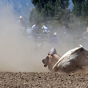 Stacey Atkinson from Middlemarch in action during the Open Steer Wrestling competition at the Wanaka Rodeo. Wanaka, South Island, New Zealand. 2nd January 2012